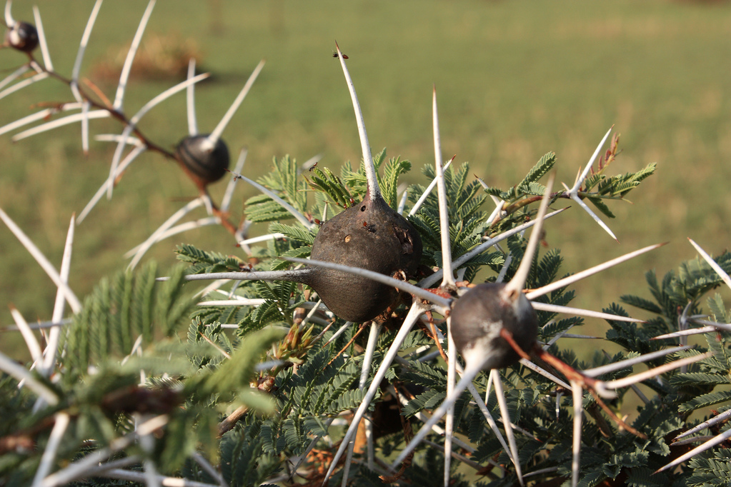 Acacia drepanolobium – Questionable Evolution