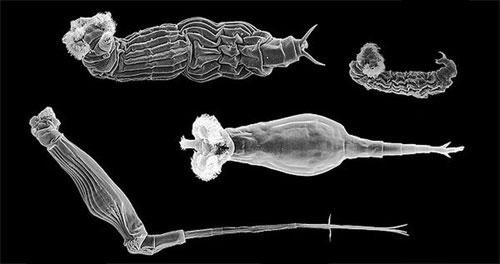Bdelloidea – Questionable Evolution