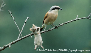 Shrikes: don't try to outsmart a bird that kills mammals for sport.(Via: Arkive.org)
