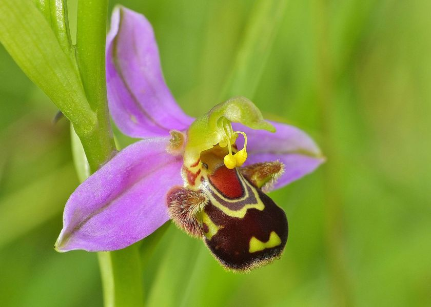 Bee_Orchid_(Ophrys_apifera)_(14374841786)_-_cropped