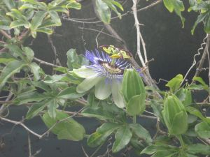 1280px-Passiflora_in_Canary_Islands
