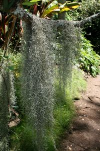 1024px-Spanish_moss_at_the_Mcbryde_Garden_in_hawaii